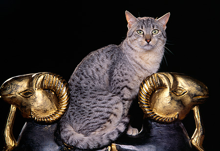 CAT 02 RK0678 04 © Kimball Stock Egyptian Mau Silver Sitting On Ram Statue Studio