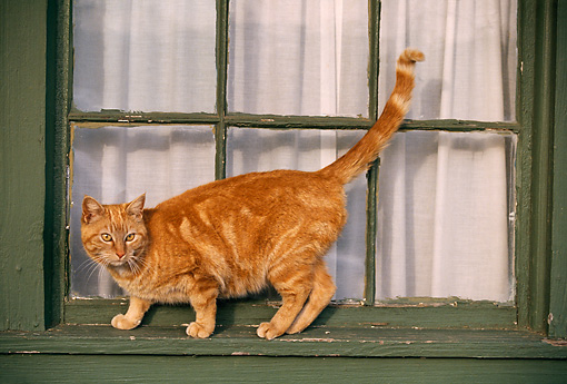 CAT 02 RK0705 05 © Kimball Stock Red Tabby Cat Jumping From Window