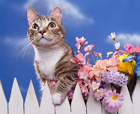 CAT 02 RK0709 03 © Kimball Stock Head Shot Of Tabby Cat By White Fence And Flowers Studio
