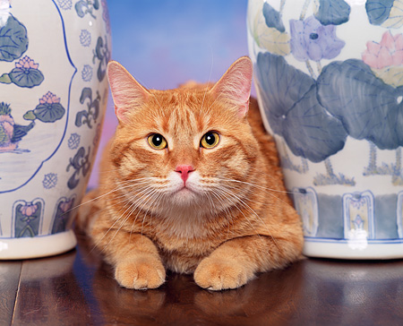 CAT 02 RK0716 12 © Kimball Stock Head Shot Of Orange Tabby Cat Laying By Vases Studio