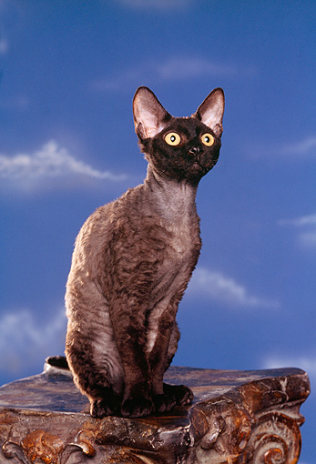 CAT 02 RK0751 03 © Kimball Stock Devon Rex Cat Black Sitting On Pedastal Studio
