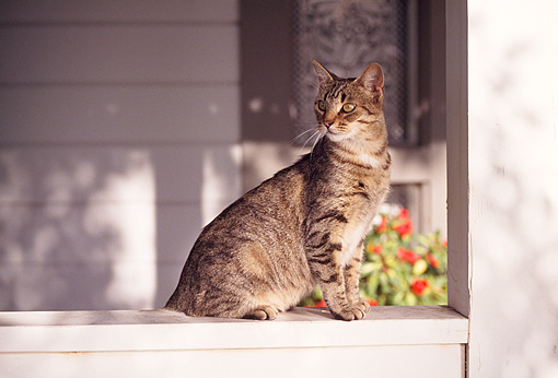 CAT 02 RK0753 09 © Kimball Stock Tabby Cat Sitting On Porch