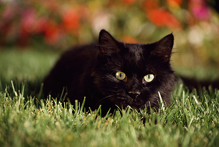 CAT 02 RK0767 06 © Kimball Stock Black Cat Laying On Grass By Flowers