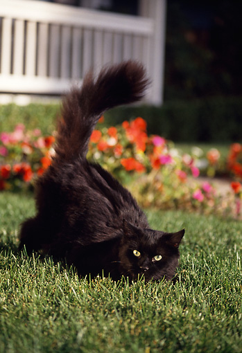 CAT 02 RK0767 12 © Kimball Stock Black Cat Laying On Grass By Flowers