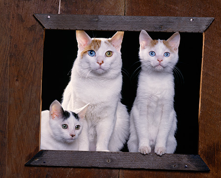 CAT 02 RK0782 01 © Kimball Stock Japanese Bobtail Cat And Kittens Sitting By Wooden Frame Studio