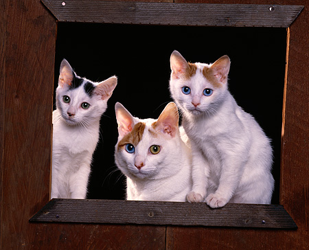 CAT 02 RK0782 03 © Kimball Stock Japanese Bobtail Cat And Kittens Sitting By Wooden Frame Studio