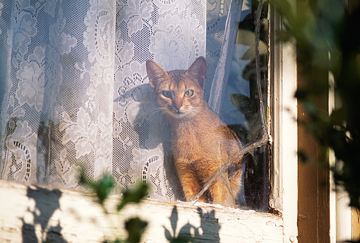 CAT 02 RK0828 03 © Kimball Stock Abyssinian Ruddy Sitting In Front Of Lace Curtain Window