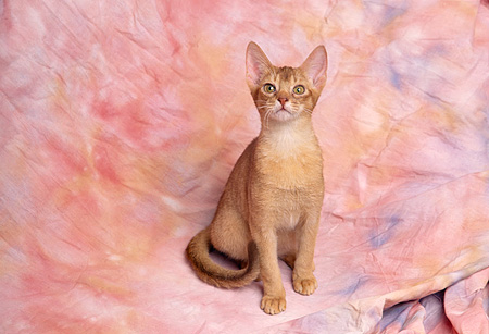 CAT 02 RK0838 05 © Kimball Stock Abyssinian Ruddy Sitting Studio