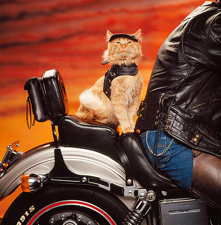 CAT 02 RK0906 10 © Kimball Stock Red Tabby Sitting In Back Of Motorcycle Sunset Studio