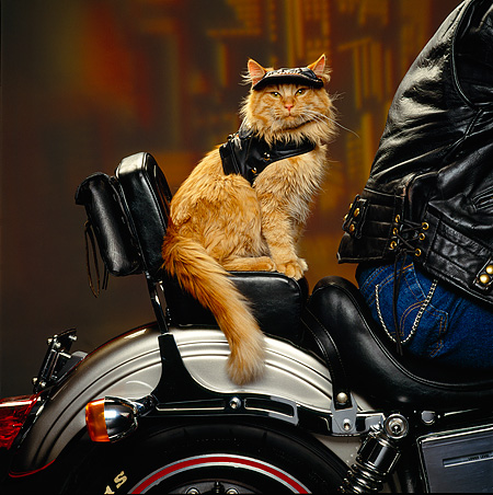 CAT 02 RK0908 17 © Kimball Stock Red Tabby Cat Sitting In Back Of Motorcycle Studio