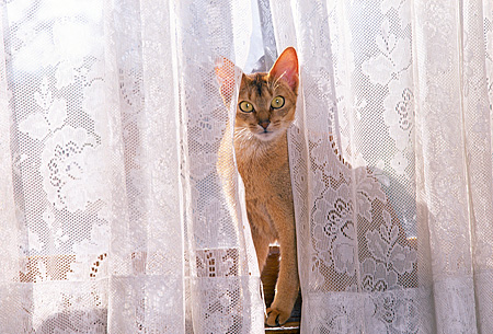 CAT 02 RK0939 01 © Kimball Stock Manx Sitting Behind Lace Curtain At Window