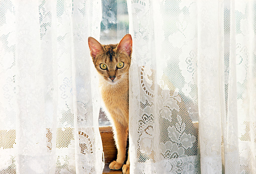 CAT 02 RK0939 02 © Kimball Stock Manx Sitting Behind Lace Curtain At Window