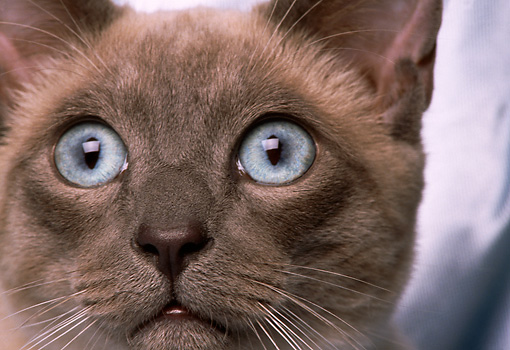 CAT 02 RK0943 02 © Kimball Stock Close Up Siamese Blue Point