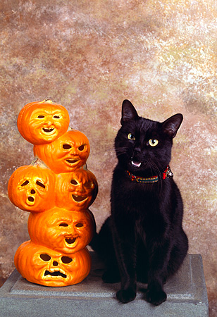 CAT 02 RK0995 04 © Kimball Stock Black Cat Sitting Next To Pumpkins Studio