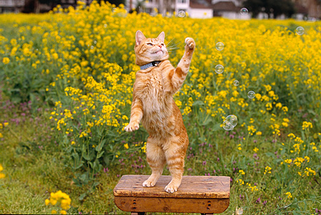 CAT 02 RK1027 02 © Kimball Stock Orange Cat On Hind Feet Playing With Bubbles On Wooden Table In Yellow Flower Garden