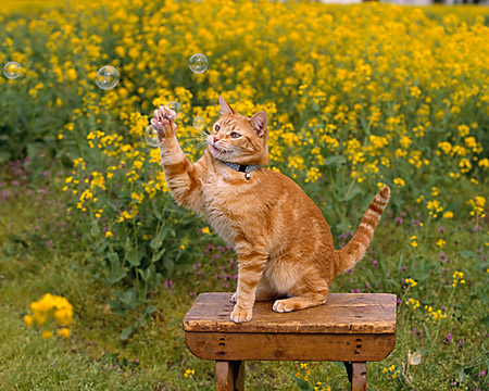 CAT 02 RK1027 03 © Kimball Stock Orange Cat On Hind Feet Playing With Bubbles On Wooden Table In Yellow Flower Garden