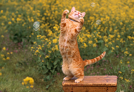 CAT 02 RK1027 09 © Kimball Stock Orange Cat On Hind Feet Playing With Bubbles On Wooden Table In Yellow Flower Garden