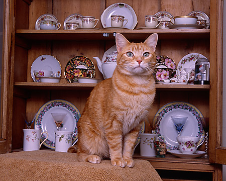 CAT 02 RK1037 03 © Kimball Stock Orange Cat Sitting By China Cabinet
