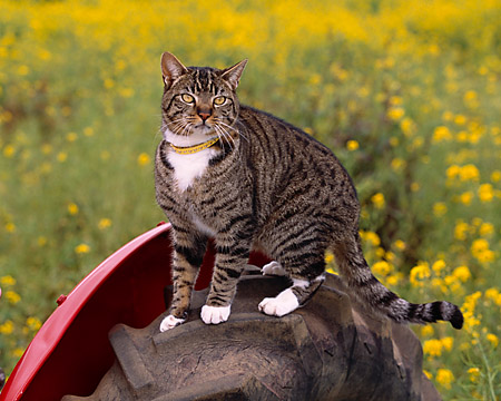 CAT 02 RK1040 03 © Kimball Stock Gray And White Tabby Cat Sitting On Tractor Tire