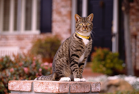 CAT 02 RK1045 03 © Kimball Stock Gray And White Tabby Cat Sitting On Brick Pedestal