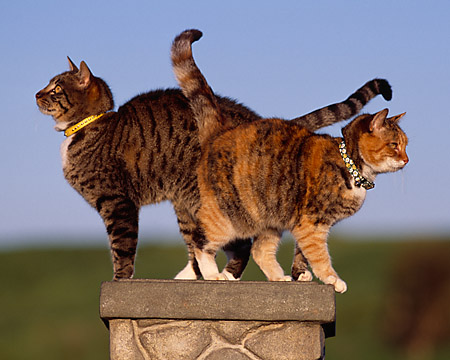 CAT 02 RK1048 11 © Kimball Stock Two Cats Sitting Together On Stone Pedastal