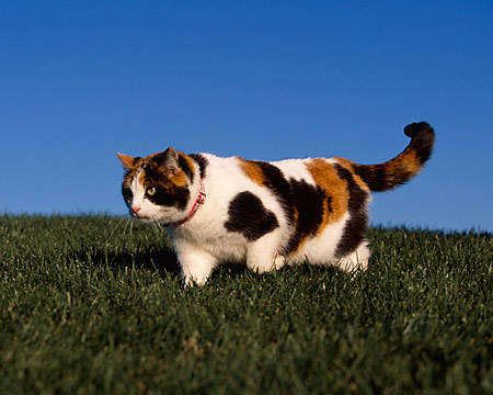 CAT 02 RK1053 02 © Kimball Stock Calico Cat Walking On Grass Hill