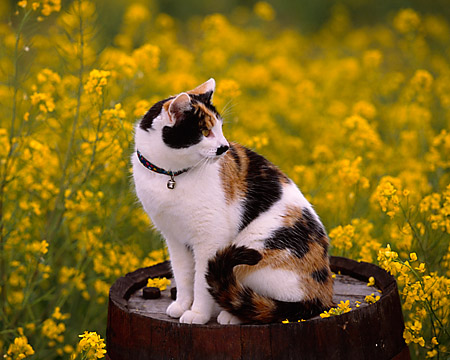 CAT 02 RK1062 05 © Kimball Stock Calico Cat Sitting On Barrel In Yellow Flower Field