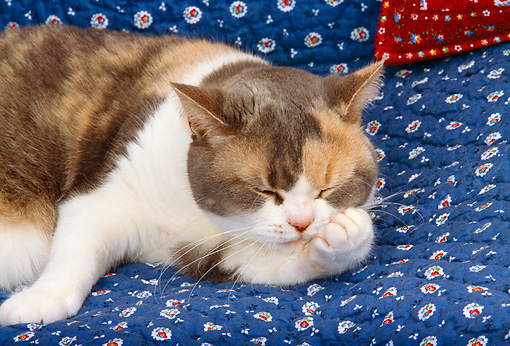 CAT 02 RK1117 01 © Kimball Stock American Shorthair Calico Cat Laying On Blue Quilt Licking Paw