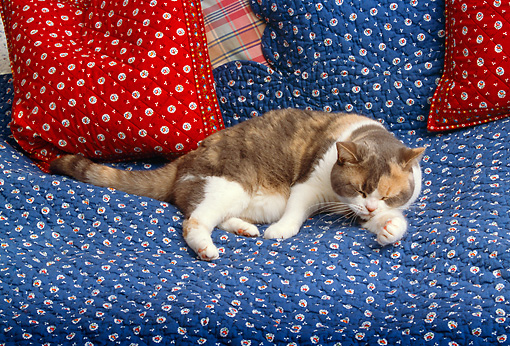 CAT 02 RK1117 03 © Kimball Stock American Shorthair Calico Cat Laying On Blue Quilt Licking Paw
