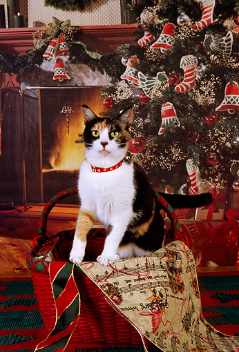 CAT 02 RK1130 07 © Kimball Stock Calico Cat Sitting In Christmas Basket