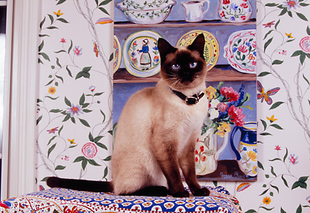 CAT 02 RK1135 02 © Kimball Stock Siamese Cat Sitting On Cushion By Cupboard