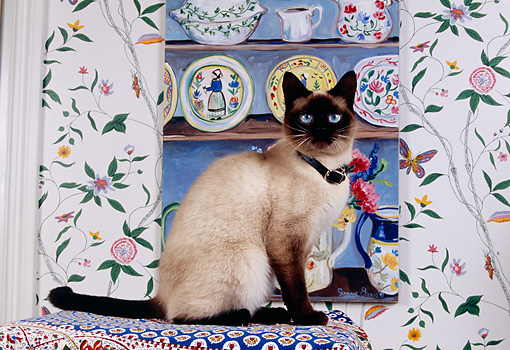 CAT 02 RK1135 04 © Kimball Stock Siamese Cat Sitting On Cushion By Cupboard