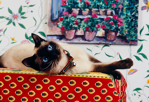 CAT 02 RK1139 03 © Kimball Stock Siamese Cat Laying On Table
