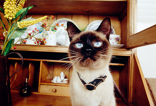 CAT 02 RK1143 04 © Kimball Stock Shoulder Shot Of Siamese Cat By Hutch And Yellow Flowers