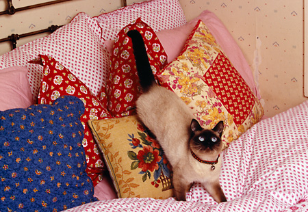 CAT 02 RK1159 08 © Kimball Stock Siamese Cat Playing On Pillows On Bed