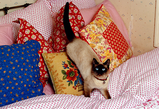 CAT 02 RK1159 09 © Kimball Stock Siamese Cat Playing On Pillows On Bed