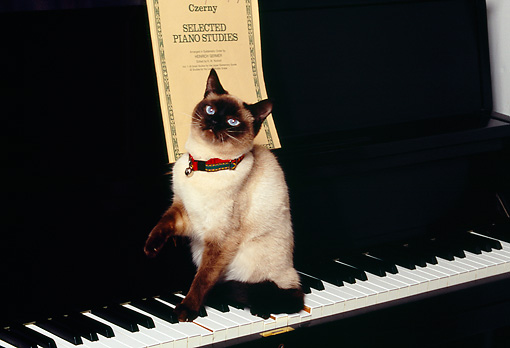 CAT 02 RK1165 01 © Kimball Stock Siamese Cat Sitting On Piano Keyboard