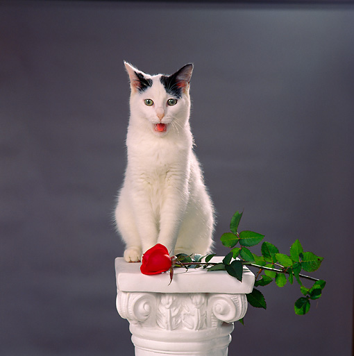 CAT 02 RS0003 01 © Kimball Stock Black And White Cat Sitting on Pedestal With Rose Studio
