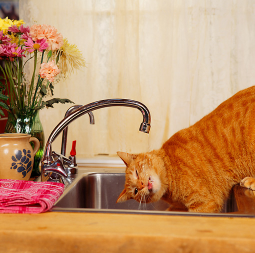 CAT 02 RS0019 03 © Kimball Stock Red Tabby Cat Drinking Water From Kitchen Faucet