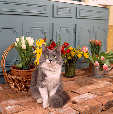 CAT 02 RS0052 04 © Kimball Stock Gray And White Cat Sitting By Flowers