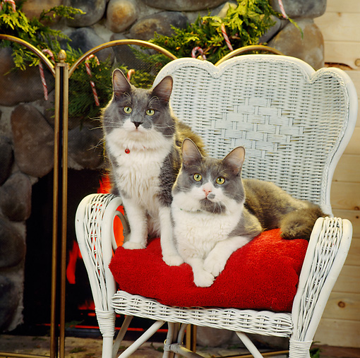CAT 02 RS0061 06 © Kimball Stock Two Gray And White Cats Sitting On Chair By Fireplace