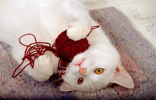 CAT 02 RS0099 01 © Kimball Stock Shoulder Shot Of White Cat Playing With Ball Of Yarn