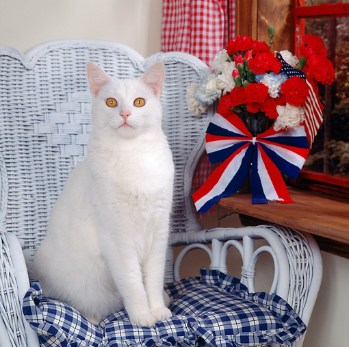 CAT 02 RS0120 01 © Kimball Stock Portrait Of White Cat On Chair By Window Patriotic