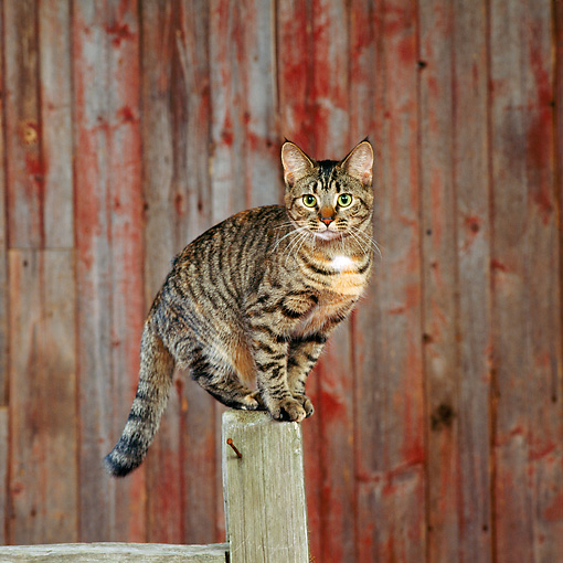 CAT 02 RS0143 01 © Kimball Stock Tabby Cat Standing On Fence Post By Barn
