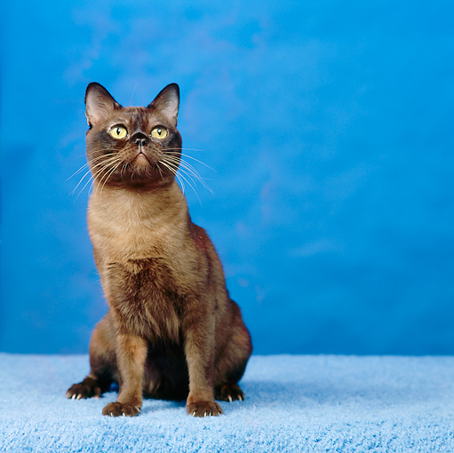 CAT 02 RS0163 01 © Kimball Stock Portrait Of Black Burmese Cat Sitting Blue Background