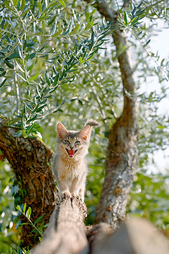 CAT 03 AB0003 01 © Kimball Stock Blue Somali Kitten Hissing On Tree Branch