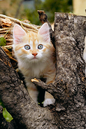 CAT 03 AB0004 01 © Kimball Stock Red, Cream And Tabby Siberian Kitten Standing By Tree Trunk