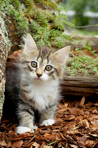 CAT 03 AB0005 01 © Kimball Stock Silver, Tortie And Tabby Siberian Kitten Standing In Bark By Logs