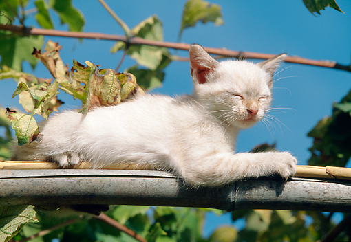 CAT 03 AB0007 01 © Kimball Stock White Kitten Sunning On Branch