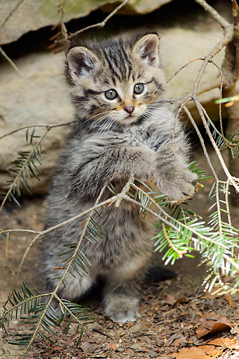 CAT 03 AC0013 01 © Kimball Stock Common Wildcat Kitten Holding Onto Tree Branch In Bavarian Forest, Germany